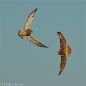 Photo:Short Eared Owls - at Trundle Mere